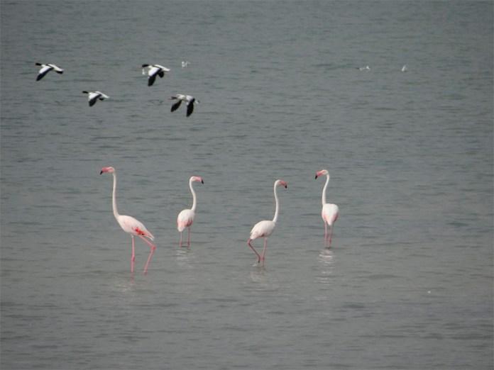 Картинки по запросу фламинго на арабатке