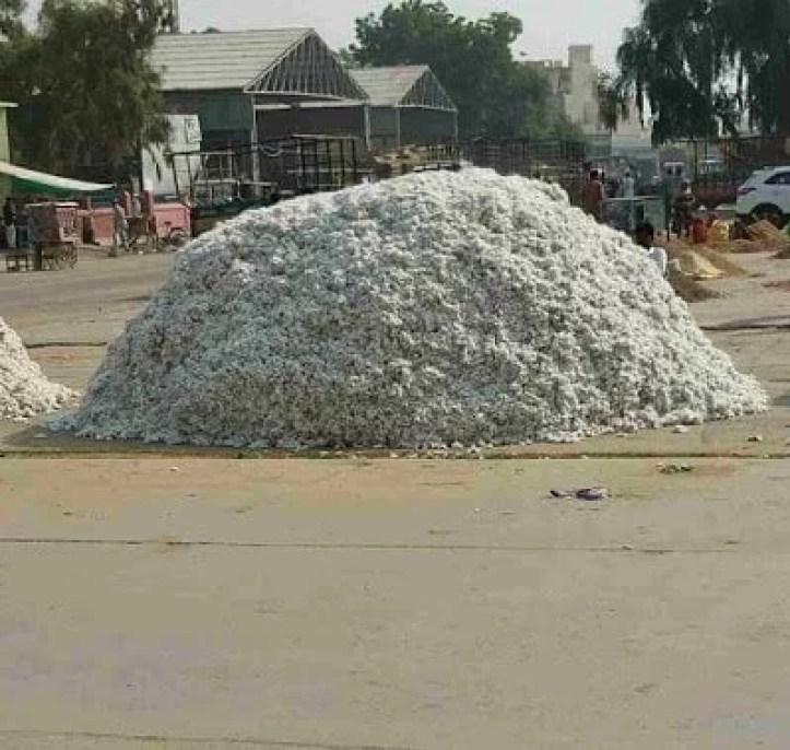 Cotton & Paddy bhav। नरमा कपास और धान मंडी भाव