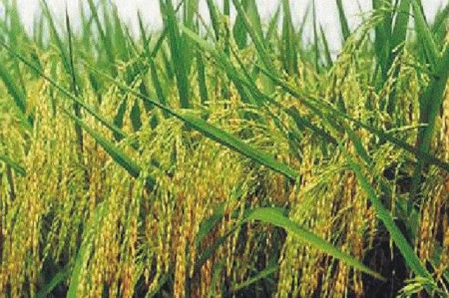 बोरो धान की खेती कैसे करें ? (Boro dhan ki kheti kaise karen in hindi)