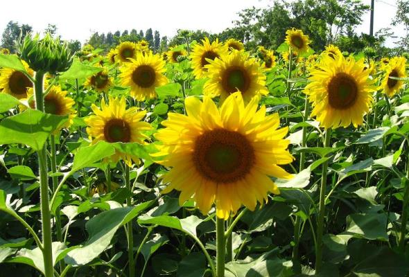 सूरजमुखी की खेती की जानकारी | How to Sunflower farming in india । Sunflower Cultivation Information Guide