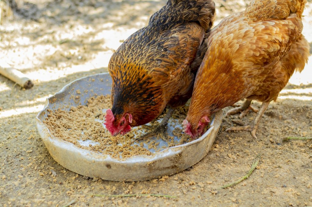 5 Important Things You Need To Know About Nutrition for Chickens