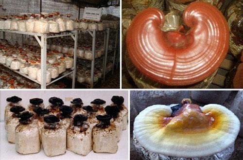 Cách phân biệt và chọn nấm linh chi tốt