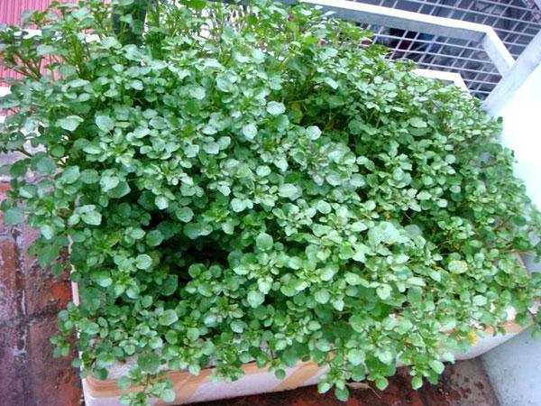 Kỹ thuật trồng rau cải xoong trong thùng xốp