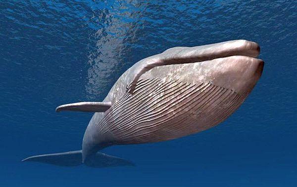 balina-balinalar-evrim-mavi_balina-mavi_fin_balinası