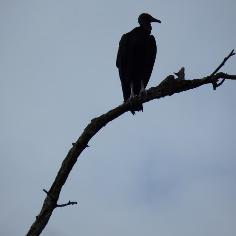 Black Vulture, they would not come down low enough for a good shot