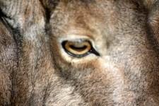 Eye of Barbary sheep