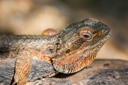 Inland Bearded Dragon