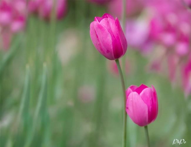 PhPo tulip1g