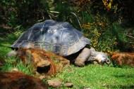 Gentle Galapagos Giant