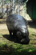Mini Hippo