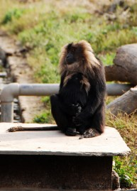 Monkey Hug - A mother Lion-Tailed Macaque and her baby