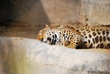A beautiful Indian Jaguar taking a nap