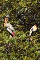 A pair of beautiful Painted Storks