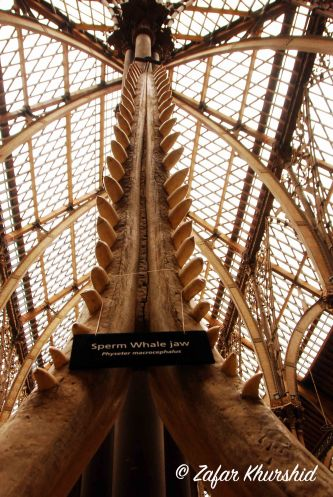The humongous jaw of a Sperm Whale