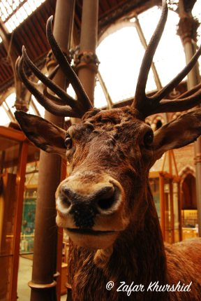 I rather realistic looking stuffed Deer