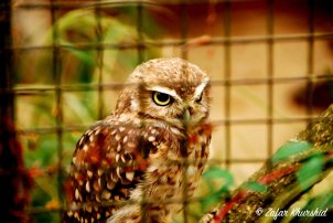 This Burrowing Owl does not look happy to be caged up!