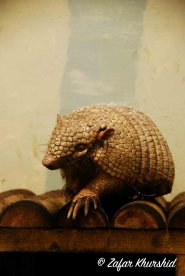 A wise old looking Six Banded Armadillo