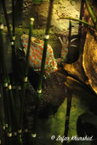I wonder if my painter can reproduce the funky markings of this Tokay Gecko