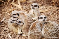I'm just a sucker for a cute group of Meerkats