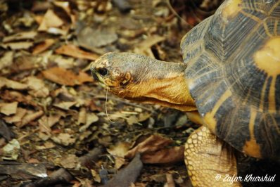 A straw chewing Radiated Tortoise, out on a stroll
