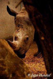 A shy White Rhino