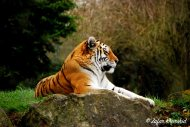 A Beautiful Amur Tiger