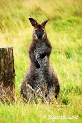 A Wallaby stares me down...