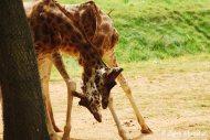 A pair of Giraffes having a tussle