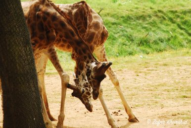 A pair of Giraffes having a tussle