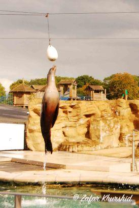 A female Sea Lion leaps though the air