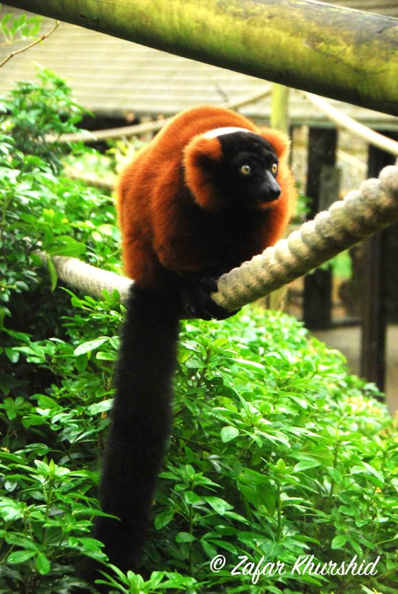 An inquisitive looking Red Ruffed Lemur