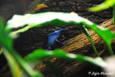 A lonely little Dyeing Poison Frog