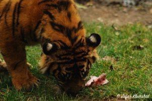A Sumatran Cub enjoying his lunch