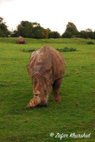 An African White Rhino grazes nearby