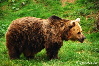 A European Brown Bear out on a walk