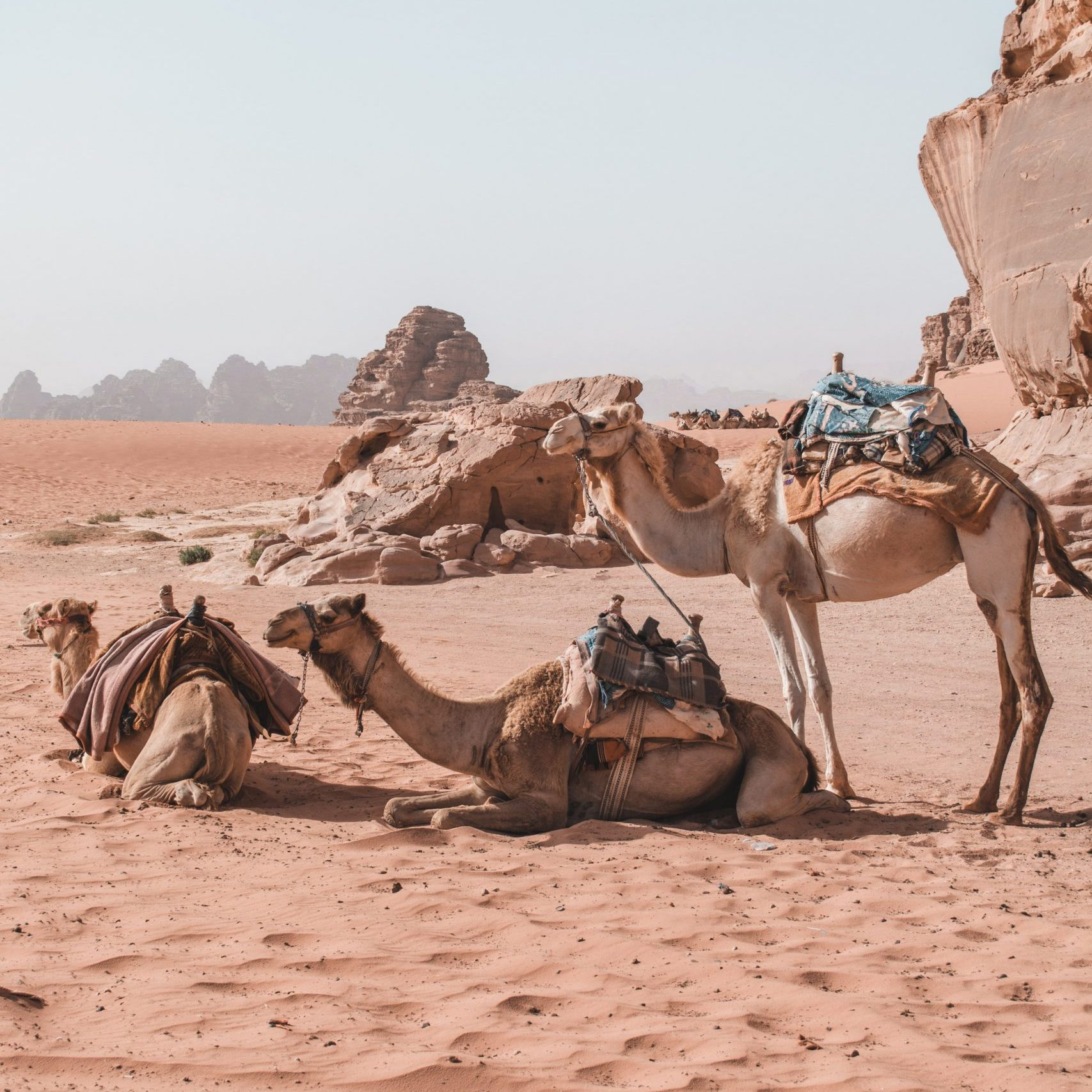 three camels resting in the desert of Wadi Rum, Jordan