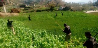 KP police destroy poppy crop spreading over 200 kanal in Swabi