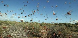 Farmers struggle to tackle locust plague due to slow government response