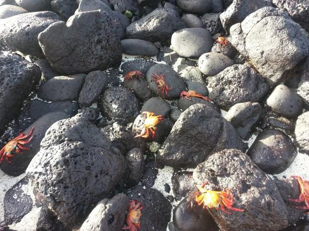 The bright orange of the Sally Lightfoot Crab