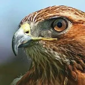 Red Tailed Hawk-Interesting Facts About Bruce Lee
