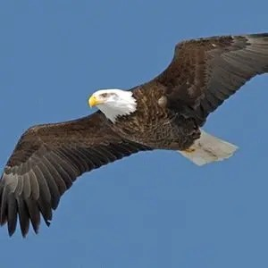 Bald Eagle-Random Facts List