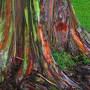 Hawaii Rainbow Tree-Interesting Facts About Trees