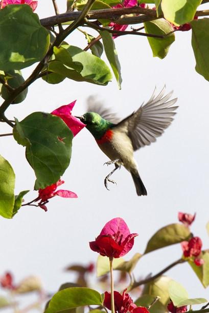 kleiner Sunbird