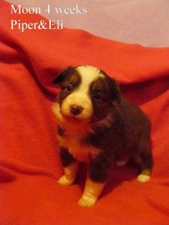 Moon at 4 weeks old. Out of Piper and Eli Sold