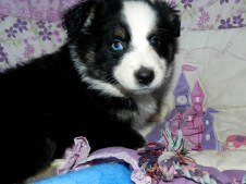 Sioux Available Black Tri Female
