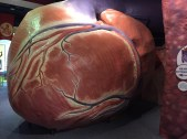 Giant Heart @ Franklin Institute- @KidCongeniality