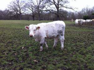 A cow at Osterley Park