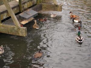 Water birds at London Wetland Centre