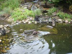 An otter diving for food