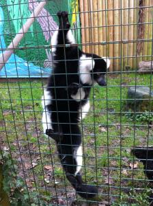 Lemur at Paradise Wildlife Park